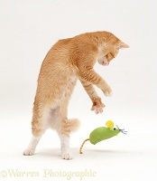 Ginger cat dancing with a toy mouse