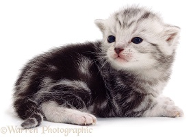 Tiny silver tabby kitten