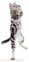 Dancing silver tabby cat