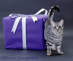 Silver tabby cat and parcel