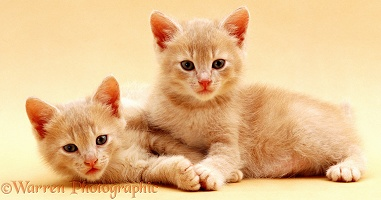 Cream kittens on cream background