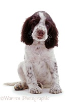 English Springer Spaniel pup