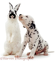 Dalmatian pup and rabbit