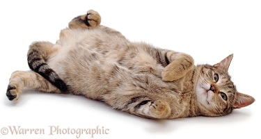 Tabby cat rolling on her back