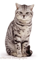 Silver spotted tabby cat