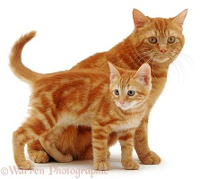 Ginger cat and kitten