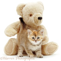 Kitten and teddy