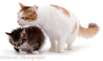 Mother cat licking a kitten