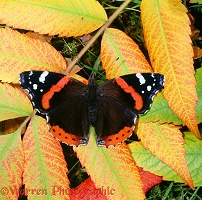 Red Admiral on autumnal leaves