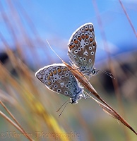 Common Blue Butterflies roosting