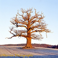 Ockley Oak - Winter 2002