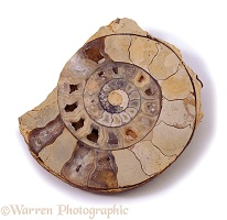 Sliced ammonite