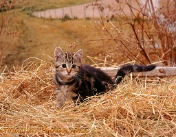 Tabby kitten on hay set