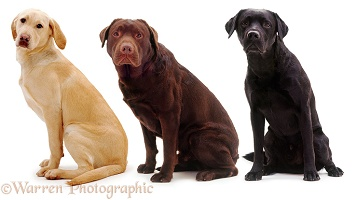 Three different Labradors