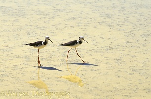 Stilts in shallow hot spring