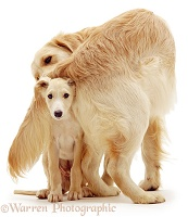 Retriever dog and Saluki pup