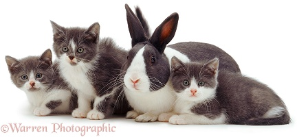 Cute grey-and-white kittens and rabbit