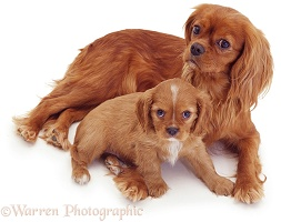 Ruby Cavalier King Charles Spaniel mother and pup