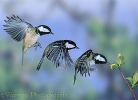 Coal tit trio