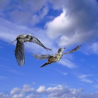 Two Mistle Thrushes in flight