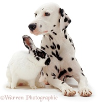 Dalmatian and rabbit