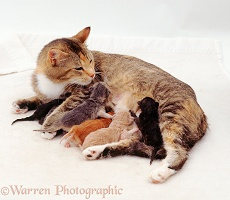 Mother cat with suckling kittens