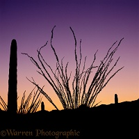 Saguaros and Ocotillos at sunrise