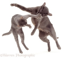 Korat mother cat playing