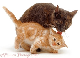 Mother cat licking a ginger kitten