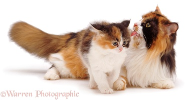 Mother tortoiseshell cat licking a kitten