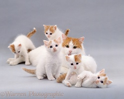 Turkish Van cat and kittens