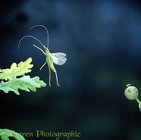 Oak Bush Cricket leaping