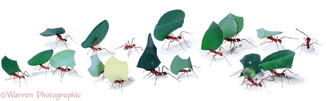 Leaf-cutter ants parade