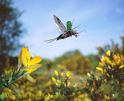Tiger beetle flying from gorse