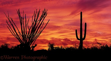 Ocotillo and Saguaro at sunset