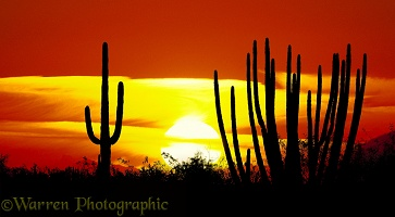 Organ Pipe and Saguaro cacti at sunset