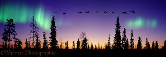 Conifers, Whooper Swans and aurora at sunrise