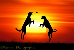 Lurchers at sunset
