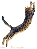 Bengal cat leaping