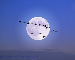 Geese flying past the moon