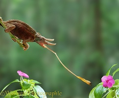 Jackson's Chameleon using its tongue to take a fly