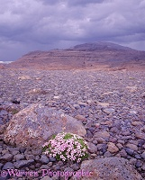 Moss Campion in Iceland