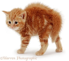 Fluffy ginger kitten with arched back