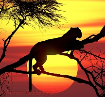 Leopard up a tree at sunset