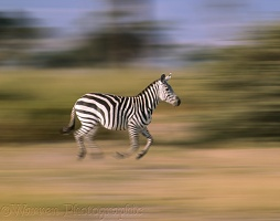 Zebra in motion