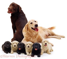 Different coloured Labrador family