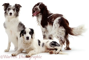 Collie, Spaniel and cross-breed offspring