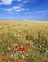 Poppies and Daisies in a wheat field