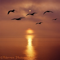 Seagulls silhouette at sunrise