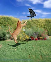 Ginger cat leaping at Jackdaw